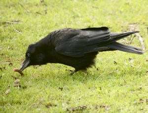 crow7
